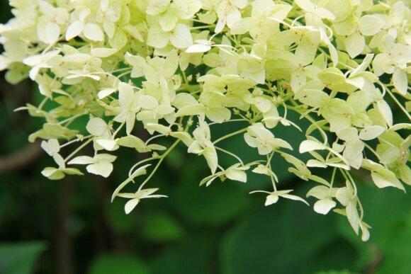 Hortenzijos: aprašymas, veislės, sodinimas ir priežiūra