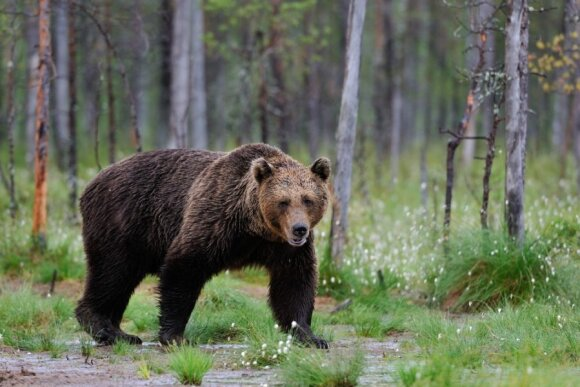 Rudosios meškos apsilanko Rytų Lietuvos miškuose