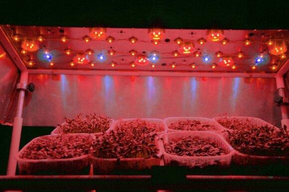 Mikrožalumynai po tyrimams naudojama valdomo LED apšvietimo spektro lempa/ A. Viršilės nuotr.