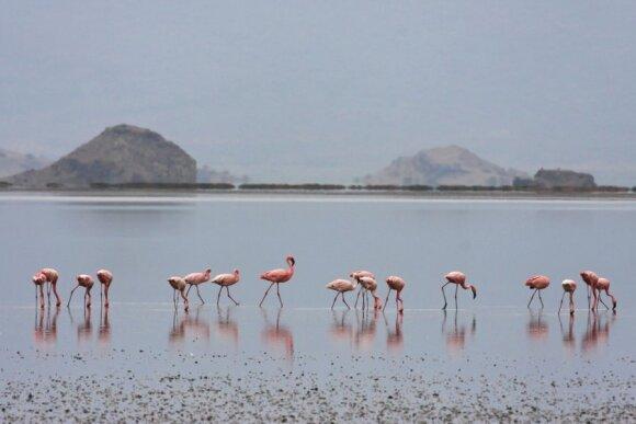 Natrono ežeras Tanzanijoje - flamingų rojus