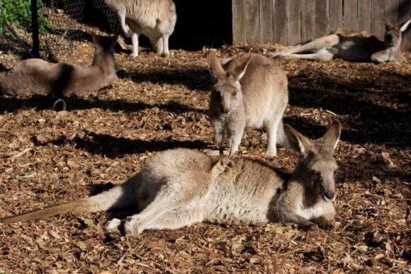 Australijoje gyvenantis Artūras: apie kengūrų ir koalų kaimynystę bei Kalėdas alinančiame karštyje