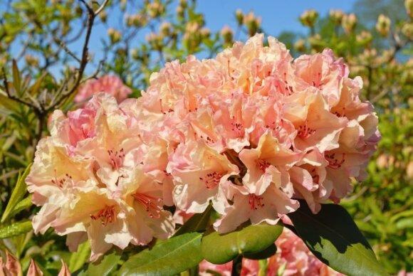 Viskas apie rododendrus: kaip teisingai auginti