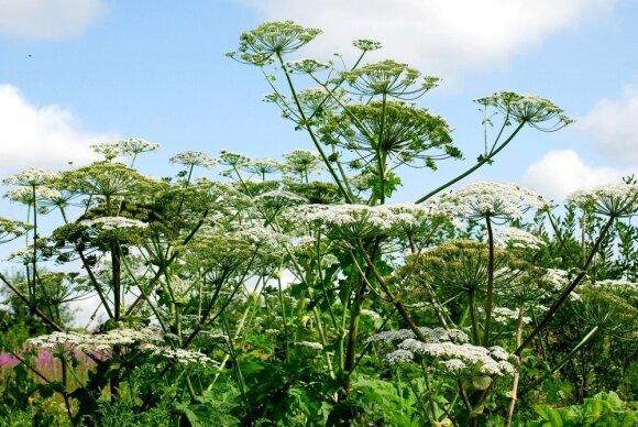 Šalia jūsų auga invazinis augalas? Pranešti apie jį dabar ypač paprasta