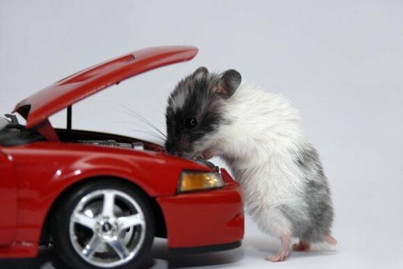 Graužikai mėgsta slėptis automobiliuose