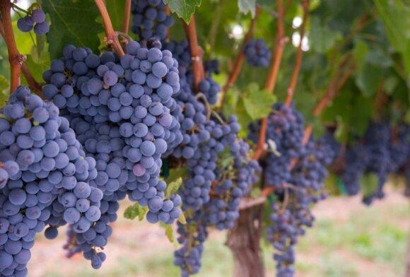 Provanso vyno kelias: gidas prancūziško vyno mėgėjams