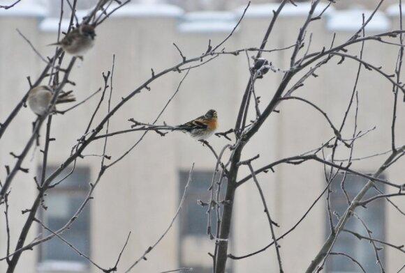 Šiaurinis kikilis  (Fringilla montifringilla) – žvirblio dydžio. Galva ir sprandas juosvi, krūtinė oranžinė, pilvas juosvas. Retai žiemoja Lietuvoje. Lesa grūdus, kruopas