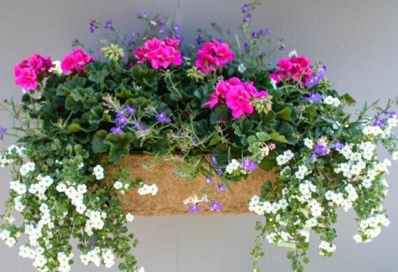 Balkono gėlės