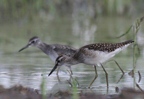 Nors dar tik liepos mėnuo, bet jau prasideda tilvikinių paukščių migracija. Tikučiai