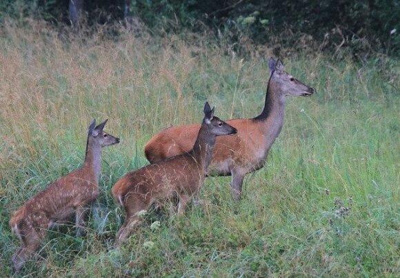 Elnė su dviem jaunikliais traukia jai vienai žinomais takais