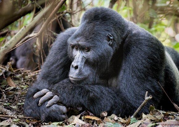 Bvindi neįžengiamojo miško nacionalinis parkas, Uganda