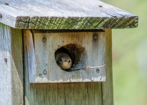 Paukščiai laukia namų (3): kur iškelti inkilą, kad jame apsigyventų paukštis, ir ar svarbi inkilo kokybė