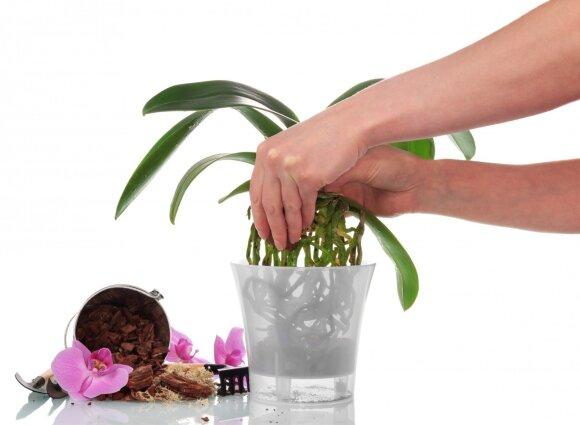Viskas, ką reikia žinoti apie orchidėjoms skirtą vazoną