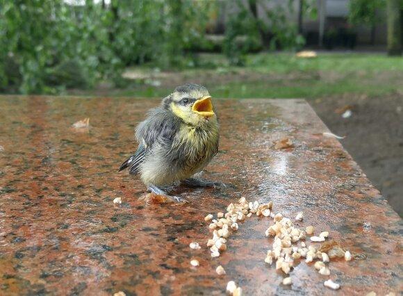 Panevėžyje paukščių jaunikliai