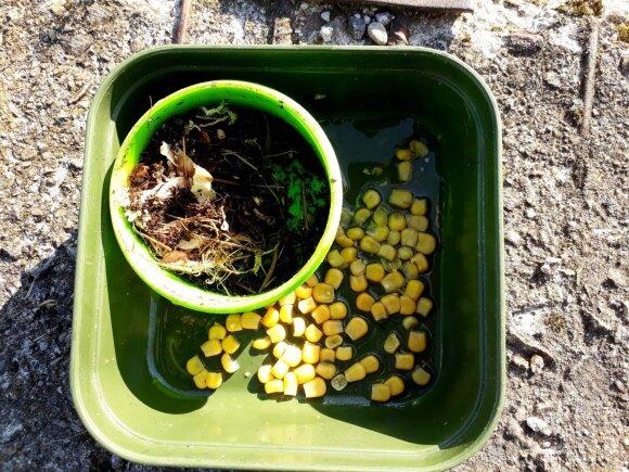 Sliekai ir kukurūzai - masalų klasika