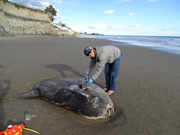 Pietų Kalifornijoje į krantą išmesta paslaptinga žuvis