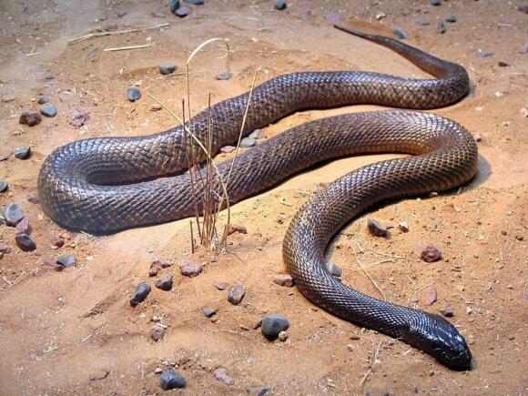 Žemyninis taipanas - viena nuodingiausių pasaulio gyvačių (English language Wikipedia, XLerate nuotr.)