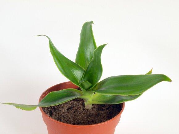 Jadvyga Balvočiūtė: šiuos gydomuosius kambarinius augalus pamirštame nepelnytai