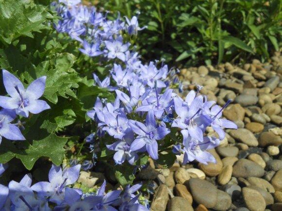 Augalai, kuriuos dera auginti šalia rožių