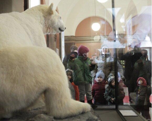 Berlyno Gamtos muziejuje – meškino Knuto iškamša