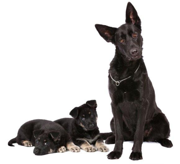 Šunų pseudonėštumas: nauda, požymiai ir gydymas
