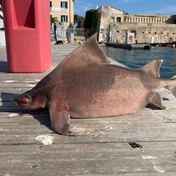 Susipažinkite su paprastuoju tribriauniu rykliu (lot. Oxynotus centrina). Isola d'Elba App nuotr.