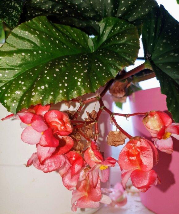 Taškuotoji begonija