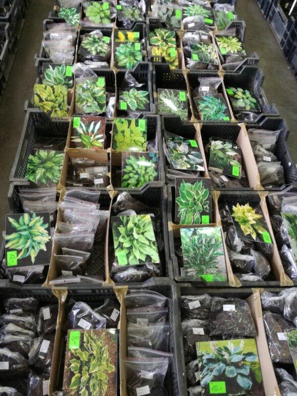 Ne tik melsvių (Hosta), bet ir kitų gėlių mėgėjams buvo galima rasti didžiulį pasirinkimą.