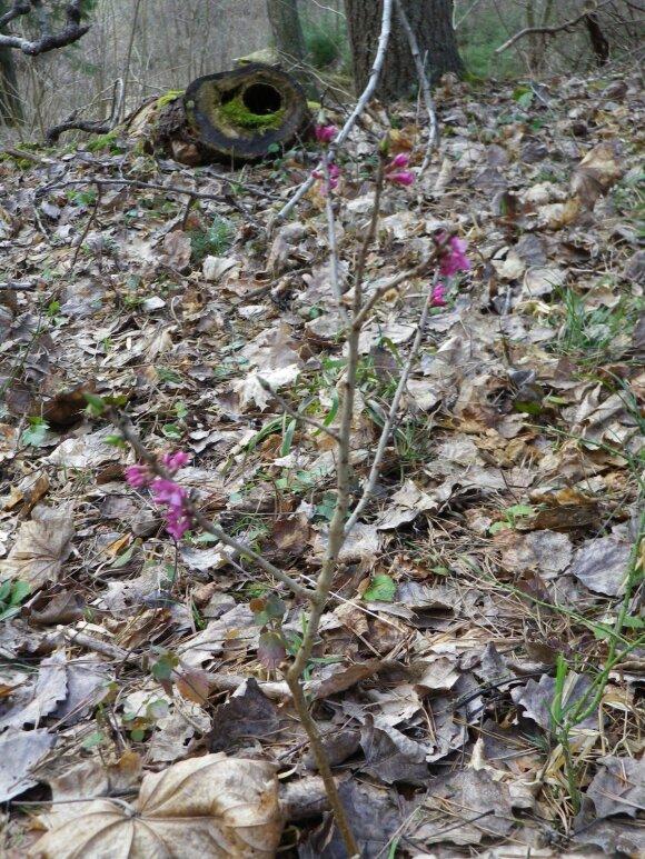 Nepaprastai žavus ir mirtinai pavojingas: susidūrimas su šiuo augalu gali būti lemtingas