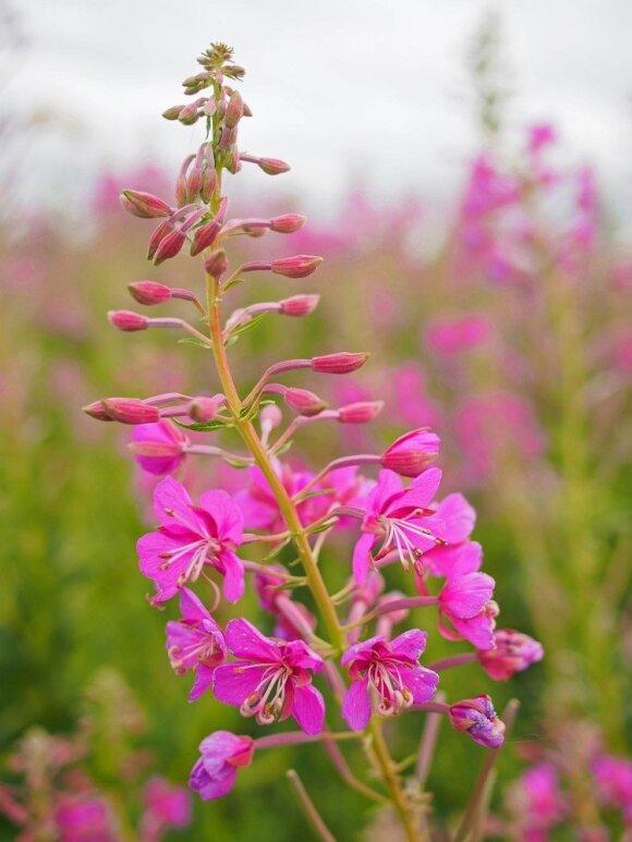 Ypač vertingas augalas, stiprinantis nervų sistemą ir apsaugantis nuo streso