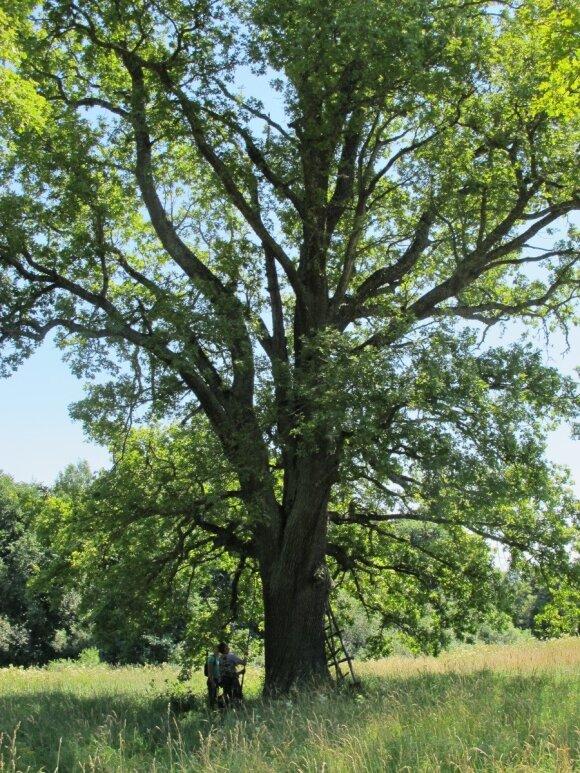 Auksavabaliai neišliks be medžių milžinų