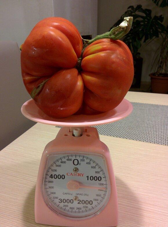 Skaitytojai dalinasi užaugintais didžiuliais pomidorais