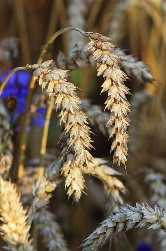 Noksta kviečių varpos