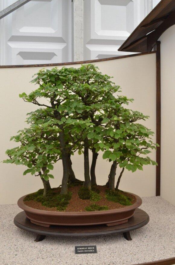 Paprastasis bukas, natūraliai augantis galingu medžiu daugelyje Europos šalių.