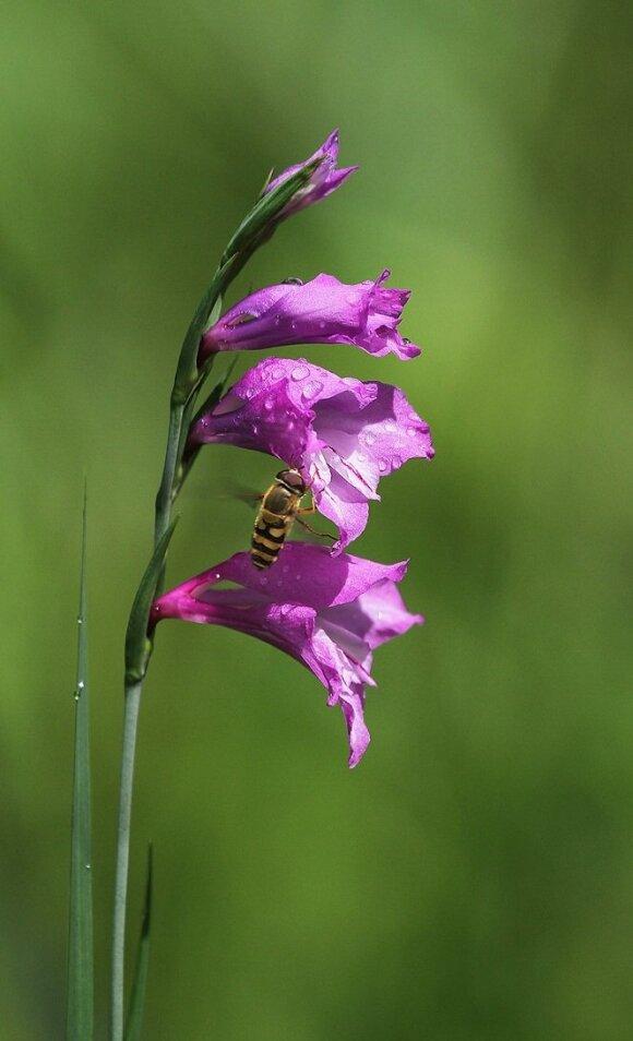 Drėgnuose lapuotynuose žydi retas ir saugomas augalas – paprastasis kardelis