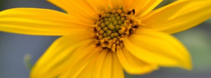 Topinambas yra saulėgrąža, tad ir jo žiedai panašūs, tik smulkesni.