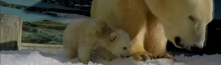 """Kamera užfiksavo mielus baltojo lokio jauniklės žaidimus su mama """"žvėrių lopšelyje"""""""