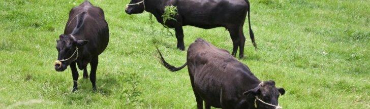 Šokiruojantis tyrimas: iš Lietuvos eksportuojami gyvuliai patenka į tikrą kankinimų pragarą