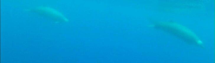 Pirmą kartą publikuojami retos rūšies banginių vaizdai