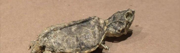 Meksikoje rasta 65 mln. metų senumo vėžlio fosilija