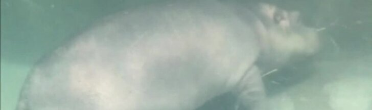 Nufilmuota, kaip begemoto jauniklė mokosi plaukti