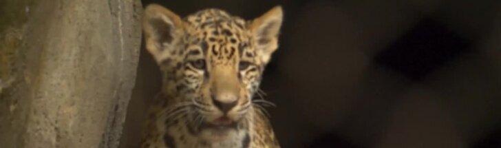 Debiutas Hjustono zoologijos sode: pasivaikščioti išsirengė jaguaro mažyliai