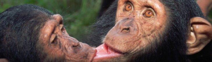Šimpanzės
