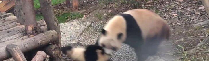 """""""Slaptas pandų gyvenimas"""" (XVII): o kam patinka praustis?"""