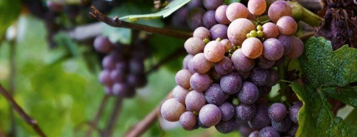 Keletas esminių patarimų, kaip paruošti vynuogių krūmus žiemai