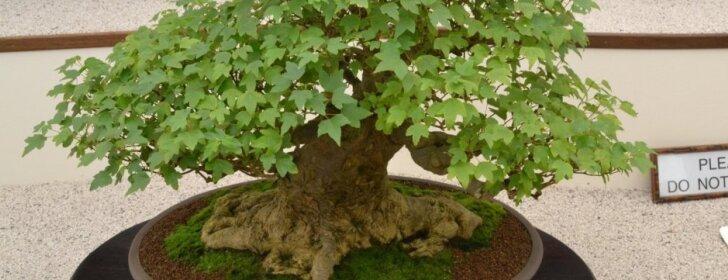 Ką reikia žinoti pradedantiems auginti bonsus