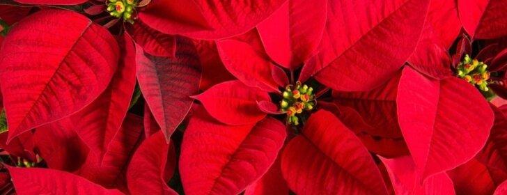 Kaip rūpintis gėle, kuri į jūsų namus atneš Kalėdų nuojautą
