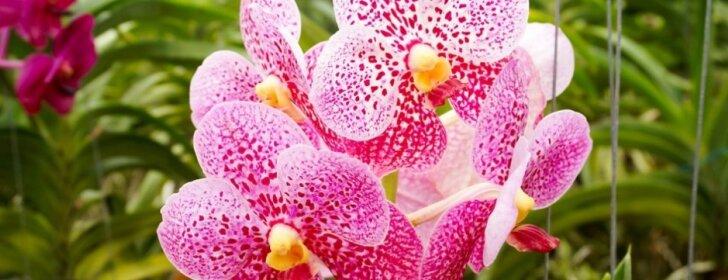"""Populiarios orchidėjos, kurias paprasta auginti <sup style=""""font-family: yui-tmp;"""">(2 dalis)</sup>"""