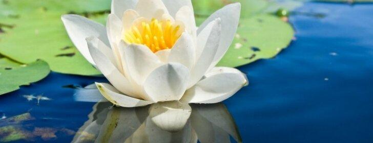 Kodėl neprašausite, jei auginsite vandens lelijas