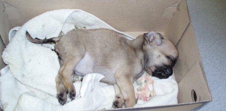 Paskutines dienas šunelis praleido kankindamasis ir nebeatsistodamas ant kojų