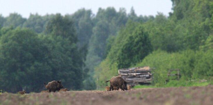 Į mišką keliaujantys šernai